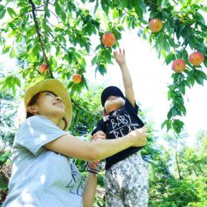 静岡県の桃狩り食べ放題は?子供も楽しめるおすすめの料金やアクセスは?